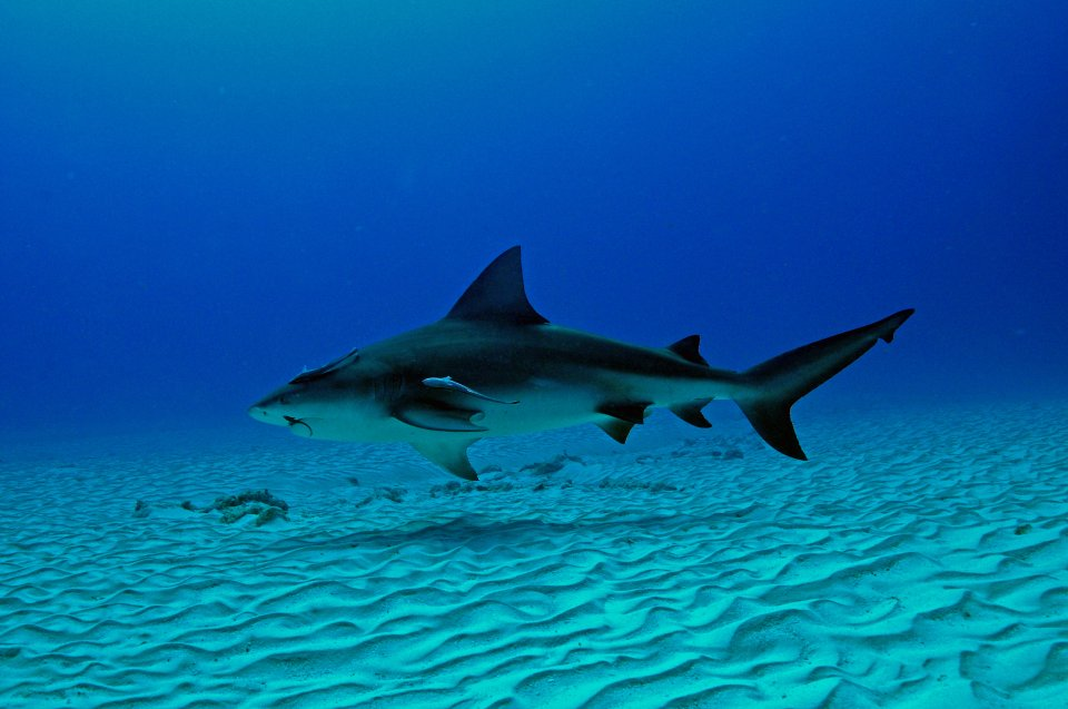 Bull sharks in Playa del Carmen